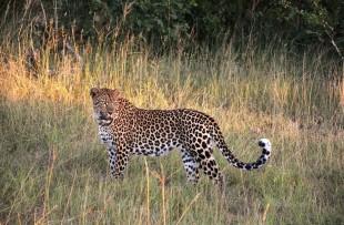 Leopard-Botswana-Pixabay