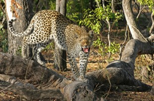 leopard-pixabay